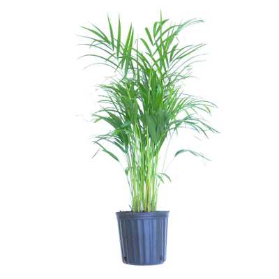 United Nursery Areca Palm Live Dypsis lutescens Indoor Outdoor Houseplant in 10 in. Grower Pot 24 in. - 34 in. Tall - Home Depot