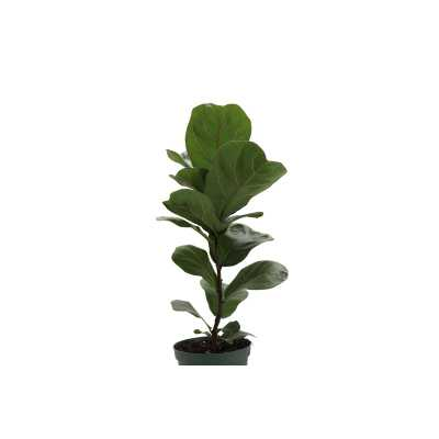 "12"" Thorsen's Greenhouse Live Fiddle Leaf Fig Plant - Perigold"