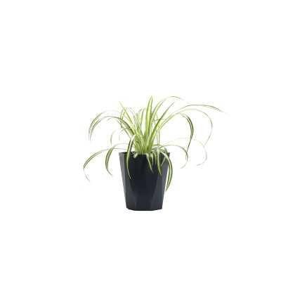 "Thorsen's Greenhouse 11"" Live Spider Plant in Pot - Perigold"