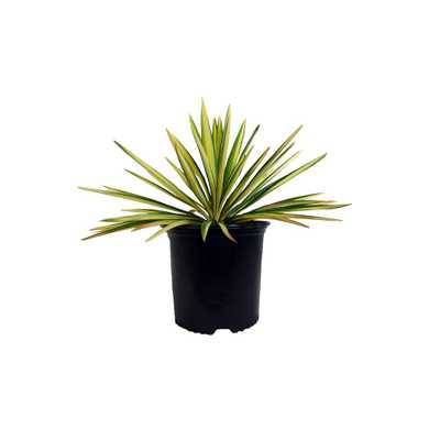 BAUCOMS NURSERY CO 2.25 Gal. Color Guard Yucca Plant with Creamy White and Dark Green Foliage - Home Depot