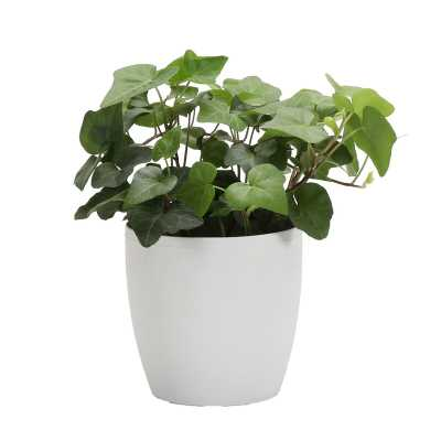 "Thorsen's Greenhouse 4"" Live Ivy Plant in Pot Base Color: White - Perigold"