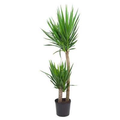 Pure Beauty Farms Yucca Cane in 9.25 in. Grower Pot - Home Depot