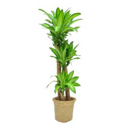 "36"" Live Dracaena Plant in Basket - Wayfair"