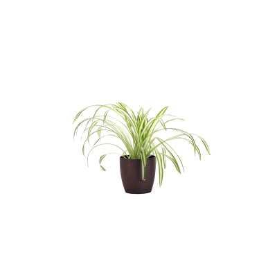 "Thorsen's Greenhouse 11"" Live Spider Plant in Pot Base Color: Brushed Copper - Perigold"