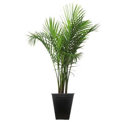 "40"" Costa Farms Live Majesty Palm Tree in Planter - Perigold"