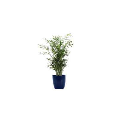 "16"" Thorsen's Greenhouse Live Neantha Bella Palm Plant in Pot Base Color: Iris - Perigold"