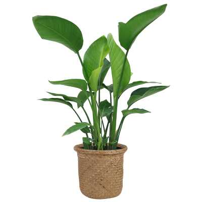 "28"" Costa Farms Live White Bird of Paradise Plant in Basket - Perigold"