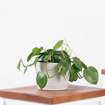 Philodendron Heartleaf Brasil Pot, Stone - West Elm