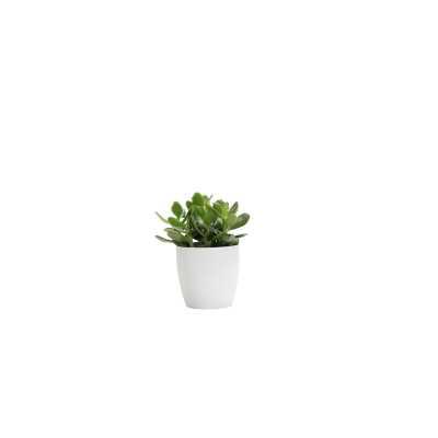 "7"" Thorsen's Greenhouse Live Jade Plant in Pot Base Color: White - Perigold"