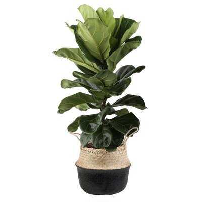 36'' Live Fiddle Leaf Fig Plant in Basket - Wayfair