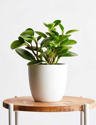 Peperomia, White - Lulu and Georgia