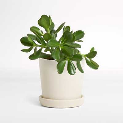 Live Jade Plant In Bryant Planter - Crate and Barrel