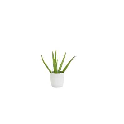 "Thorsen's Greenhouse 6"" Live Aloe Plant in Pot Base Color: White - Perigold"