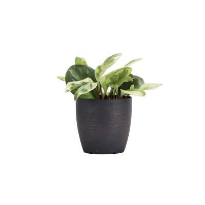"""Thorsen's Greenhouse 7"""" Live Peperomia Plant in Pot Base Color: Brushed Copper - Perigold"""