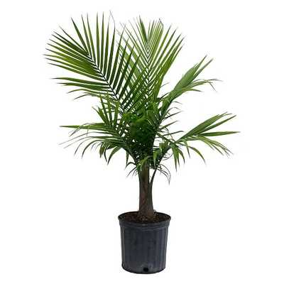 "Live 10"" Majesty Palm Plant - West Elm"