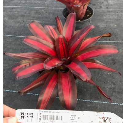 Pure Beauty Farms 6 In. Bromeliad Neoregelia Pimiento in Grower's Pot - Home Depot