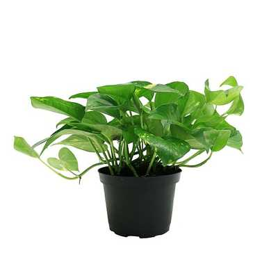 "Live 6"" Golden Pothos Plant - West Elm"