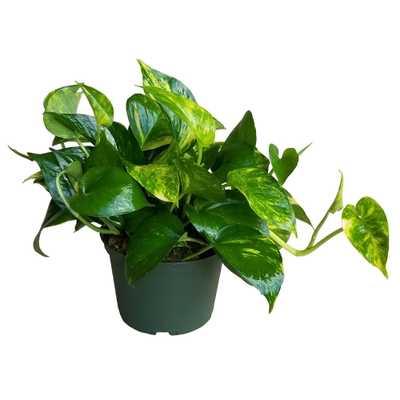 EVERGRACE Golden Pothos Plant in 6 inch Grower Pot - Home Depot