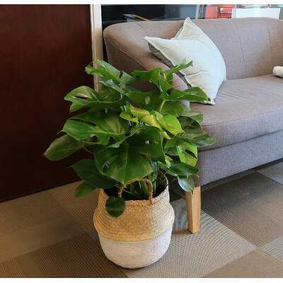 28'' Live Philodendron Plant in Basket - Wayfair