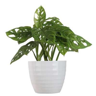 Costa Farms Trending Tropicals Trending Tropicals Little Swiss Monstera in 6 in. Ceramic Pot - Home Depot