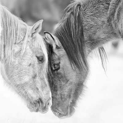 'B and W Horses VII' Graphic Art on Canvas - Wayfair