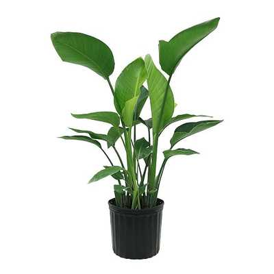 "Live 10"" White Bird of Paradise Plant - West Elm"