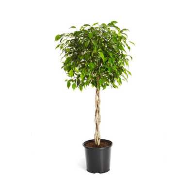 Brighter Blooms Benjamina Ficus Tree (Ficus Benjamina) in 3 Gal. Pot - Home Depot