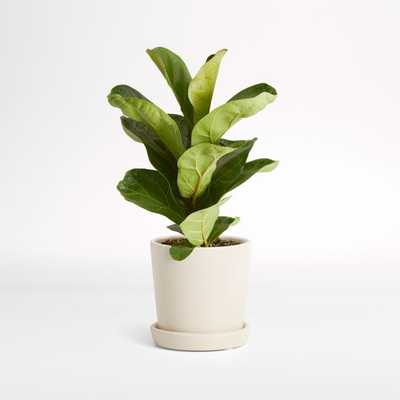 Live Fiddle Leaf Fig Plant in Bryant Planter by The Sill - Crate and Barrel