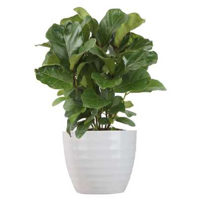 Costa Farms Trending Tropicals Little Fiddle Leaf Ficus Lyrata Plant in 6 in. Ceramic - Home Depot