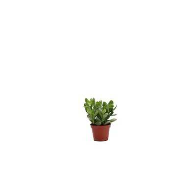 "7"" Live Jade Plant - Wayfair"
