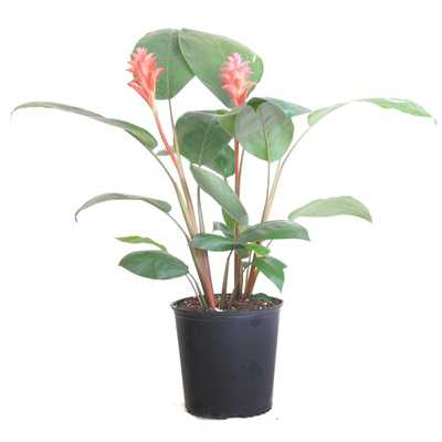 United Nursery Curcuma Plant Coral Live Indoor Outdoor Plant Shipped in 9.25 inch Grower Pot at 28 in. - 34 in. Tall - Home Depot