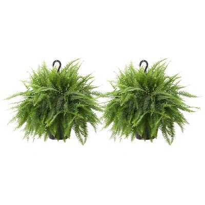 "2 25""  Live Fern Plant in Pot Set - Wayfair"