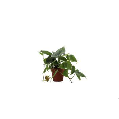 "Thorsen's Greenhouse 6"" Live Philodendron Plant - Perigold"