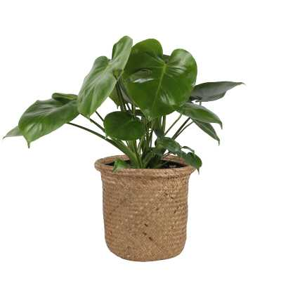 "23"" Costa Farms Live Monstera Deliciosa Plant in Basket - Perigold"