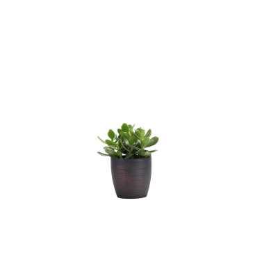 "Thorsen's Greenhouse 7"" Live Jade Plant in Pot Base Color: Brushed Copper - Perigold"