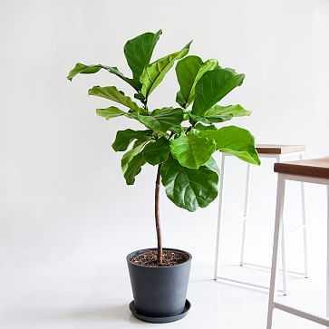 Fiddle Leaf Fig Pot, Charcoal - West Elm