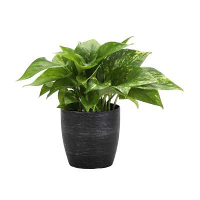 """Thorsen's Greenhouse 4"""" Live Foliage Plant in Pot Base Color: Brushed Silver - Perigold"""