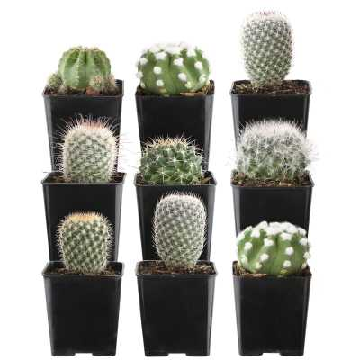 Costa Farms 9 Live Cactus Plant in Pot Set - Perigold