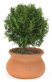 "9"" Rosemary in Pot, Live - One Kings Lane"
