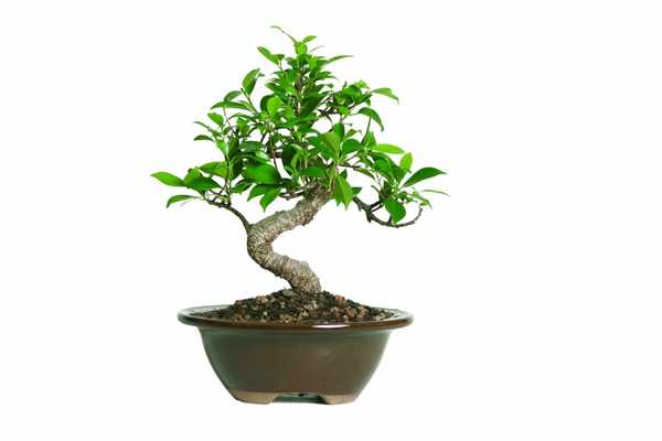 Brussel's Golden Gate Ficus Bonsai - Amazon