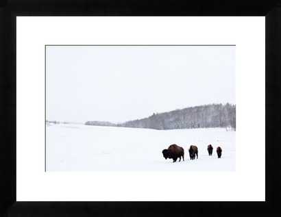 """Buffalo on the Plains - 22"""" x 18"""", Black Frame - Photos.com by Getty Images"""