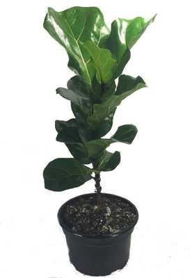 "Fiddleleaf Fig Stylized Tree Shape - Ficus - Great Indoor Tree - Easy - 8"" Pot - Amazon"