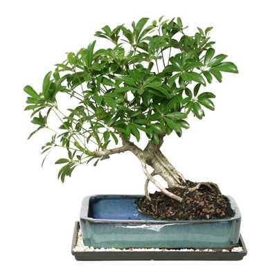 Dwarf Hawaiian Umbrella Bonsai in Water Pot - Home Depot