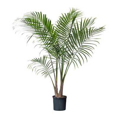 RAVENEA Potted plant - Ikea