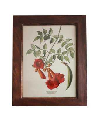Vintage Botanical Print, Trumpetcreeper - High Street Market