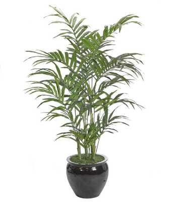 Kentia Palm,Fishbowl Black - Domino