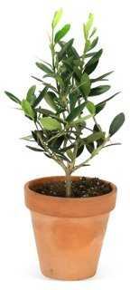 Olive Tree in Pot, Live - One Kings Lane