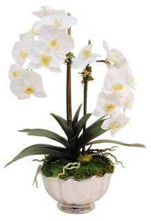 Phalaenopsis in Bowl - One Kings Lane