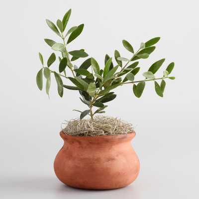 Live Olive Tree in Terracotta Pot - World Market/Cost Plus