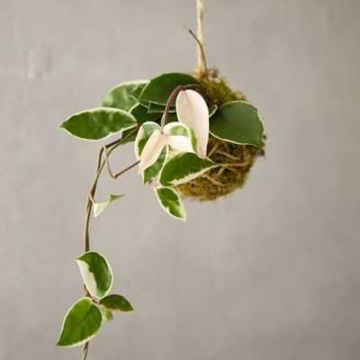 Hoya 'Tricolor' String Garden - shopterrain.com